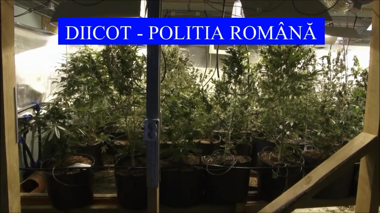3 culturi indoor de cannabis în sudul judeţului Dâmboviţa. VIDEO