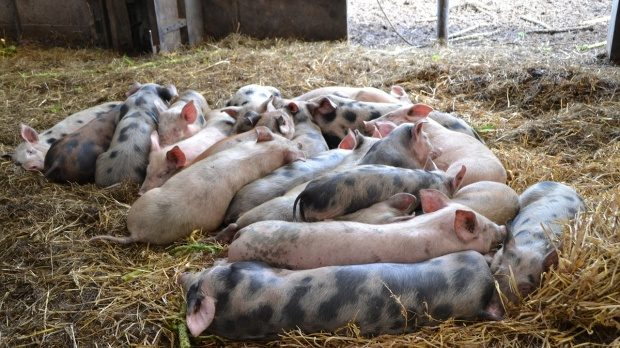 Focare de pestă porcină la Perşinari şi Ciocăneşti