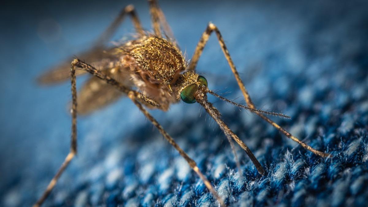 Autoritățile, în alertă, țânțari purtători de virusul West Nile